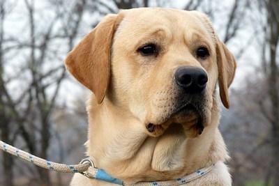 labrador retriever hungarian retriever and waterdog club