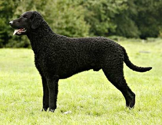 curly_coated_retriever_standard