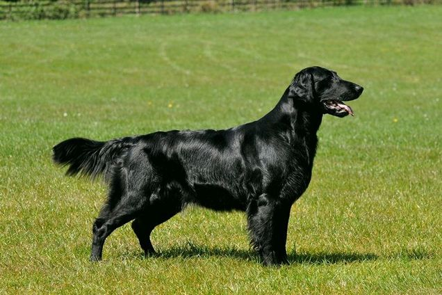 flat_coated_retriever_standard