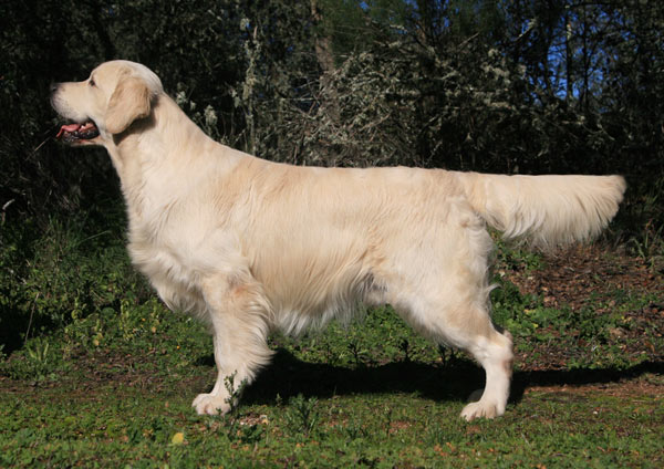 golden_retriever_standard