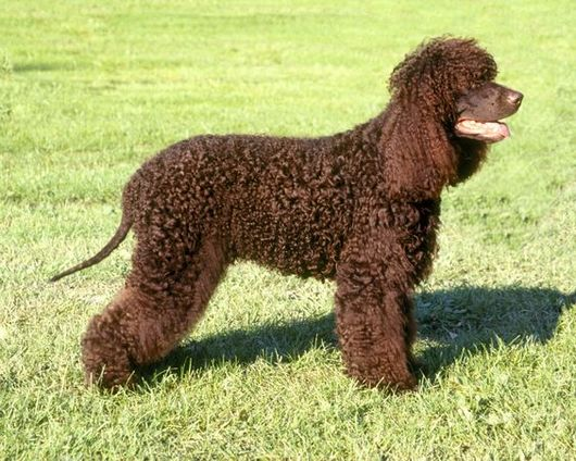 irish_water_spaniel_standard