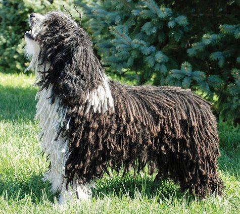spanish_waterdog_standard